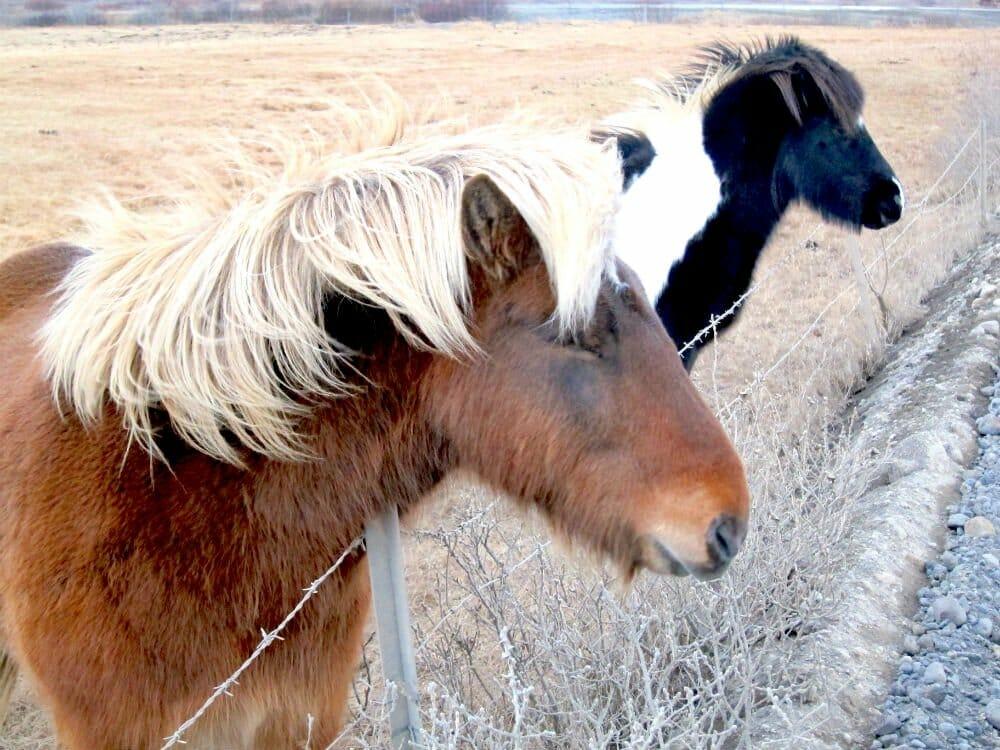 Travel to Iceland in November - Icelandic horses