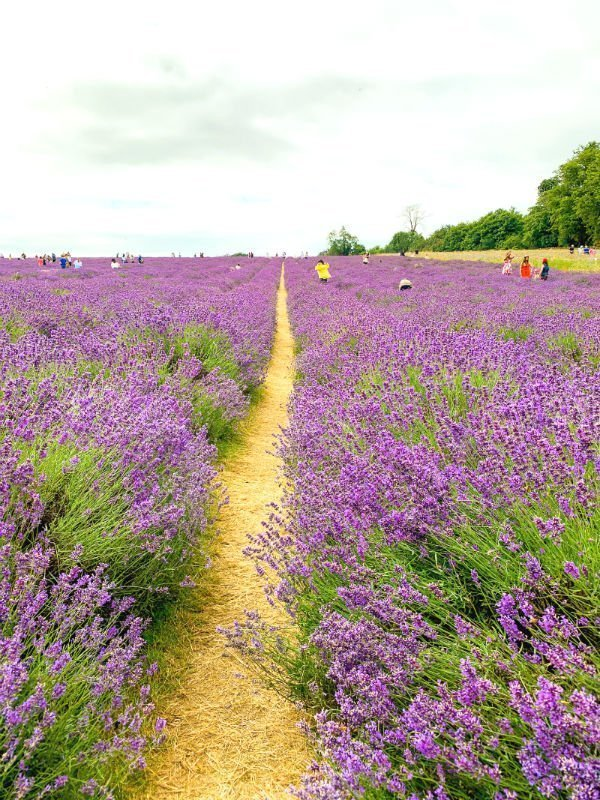 A perfect purple paradise at Mayfield Lavender Farm 6
