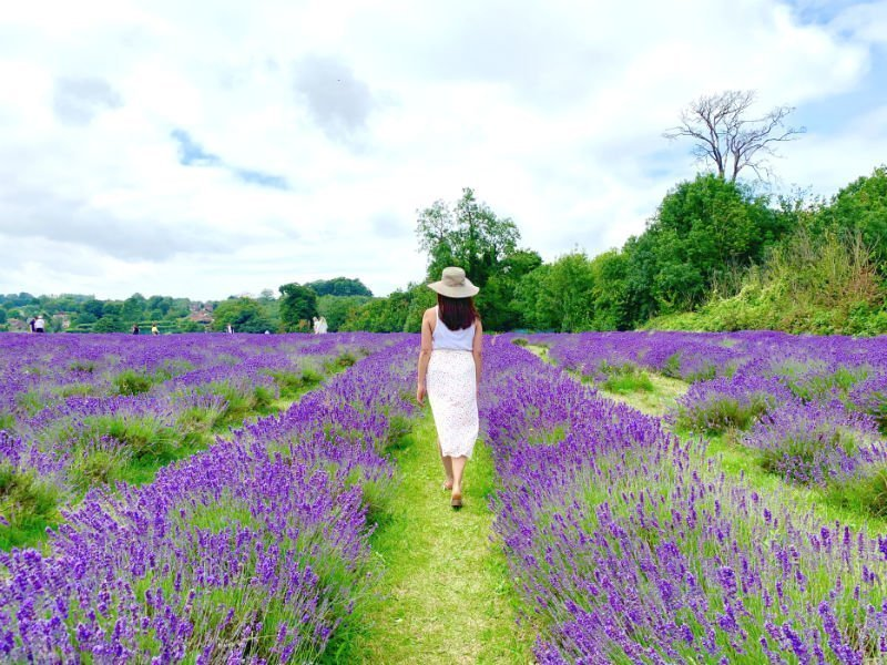 A perfect purple paradise at Mayfield Lavender Farm