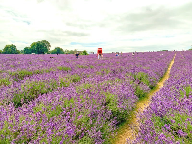 A perfect purple paradise at Mayfield Lavender Farm 5