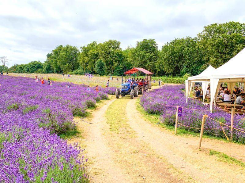 A perfect purple paradise at Mayfield Lavender Farm 2